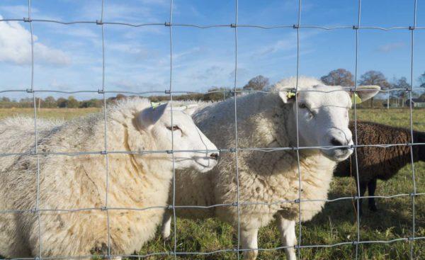 Fårnät till fårinhägnad i Uppsala