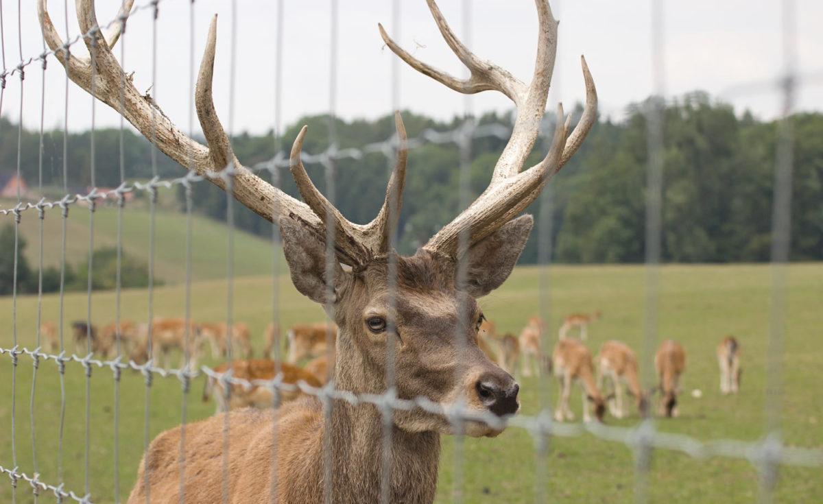 Vilthägn hjort i Uppsala