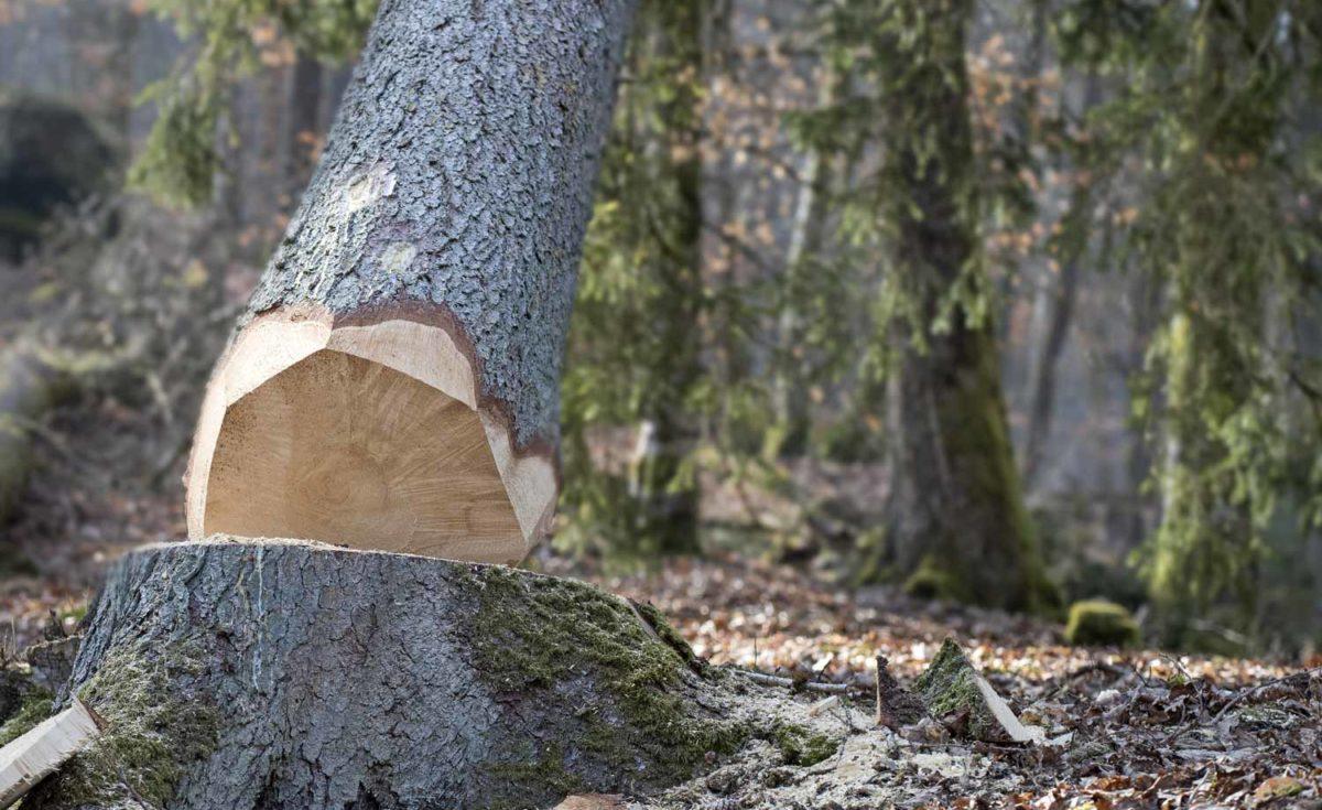 Trädfällning som markfällning i Uppsala